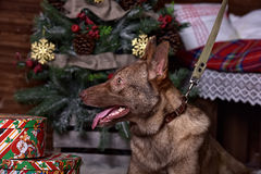 Beautiful brown dog on New Year's background Stock Photo