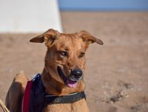 Brown dog posing with devil face in the beach royalty free stock photo