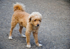 Beautiful brown dog standing on the street Stock Photos