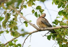 A beautiful brown dove etching its body Royalty Free Stock Images
