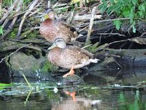 Two duck rest on old tree trunk near river, Lithuania Royalty Free Stock Photography