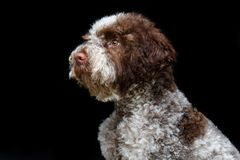 Beautiful brown fluffy puppy. Beautiful fluffy lagotto romagnolo puppy dog. studio shot isolated on black background. copy space royalty free stock images
