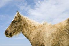 Beautiful brown foal Royalty Free Stock Image