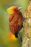 Beautiful brown form tropic mountain forest. Chestnut-coloured Woodpecker, Celeus castaneus, brawn bird with red face from Costa R Stock Photos