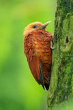 Beautiful brown form tropic mountain forest. Chestnut-coloured Woodpecker, Celeus castaneus, brawn bird with red face from Costa R Stock Photography