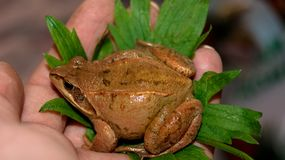 Beautiful brown frog on a leaf in hand in summer royalty free stock photo