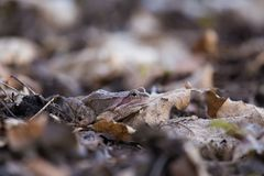 A beautiful brown frog sitting on a ground, full of dried last years leaves and grass. Early spring scenery. New life in spring. Royalty Free Stock Images