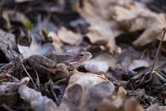 A beautiful brown frog sitting on a ground, full of dried last years leaves and grass. Early spring scenery. New life in spring. Royalty Free Stock Image