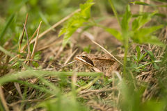 A beautiful brown frog sitting in a meadow grass. Near the river Stock Photos
