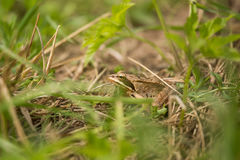A beautiful brown frog sitting in a meadow grass. Near the river Royalty Free Stock Photography