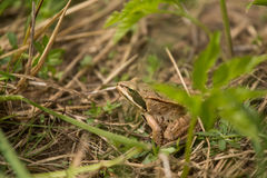 A beautiful brown frog sitting in a meadow grass. Near the river Royalty Free Stock Photos
