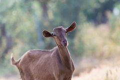 Beautiful brown goat portrait. A closeup look Royalty Free Stock Image