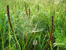 Beautiful brown grass with spider net in dew, Lithuania Royalty Free Stock Photo