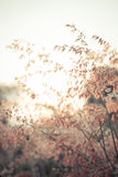 Beautiful brown grass Stock Photography