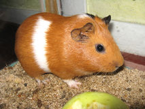Beautiful brown guinea-pig Royalty Free Stock Photo