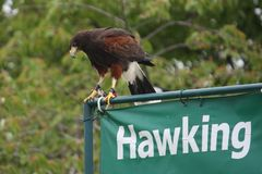 Beautiful brown harris hawk on a hawking sign. Magnificent brown harris hawk raptor standing on a sign saying hawking stock images
