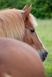 Beautiful brown horse. With a thick mane Stock Photography