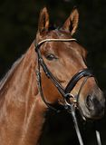 Beautiful Brown Horse Royalty Free Stock Images