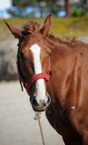 Beautiful brown horse Stock Photos