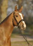 Beautiful Brown Horse Stock Photo