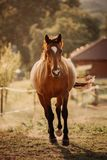 Beautiful brown horse cantering uphills on a farm during the sunset. A brown horse running up the hill during sunset on a farm stock photo