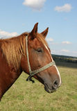 Beautiful brown horse closeup. Beautiful brown horse on a field Royalty Free Stock Photos