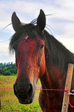Beautiful brown horse Stock Images