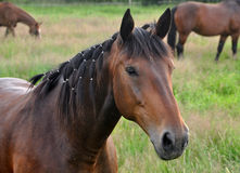 Beautiful brown horse. A closeup portrait of the head of a beautiful brown or chestnut horse in a country field Royalty Free Stock Photography