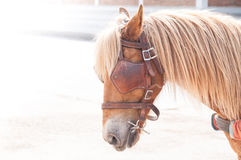 Beautiful brown horse,domesticated animal used by humans as transportation Stock Images
