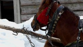 The beautiful brown horse eating hay. Two beautiful brown horses are eating hay. The action at winter season stock video
