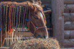 Beautiful brown horse eating stock image