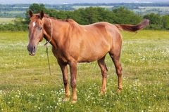 Beautiful brown horse is feeding at green field Royalty Free Stock Photo