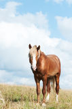 Beautiful brown horse on the field Royalty Free Stock Photo