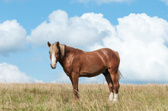 Beautiful brown horse on the field Royalty Free Stock Photography