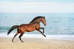 Beautiful brown horse galloping along the shore of the sea on a summer day. Stallion with long mane jumping on background of ocean stock image