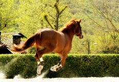 Beautiful brown horse galloping in paddock freely. Beautiful brown horse galloping in paddock royalty free stock images