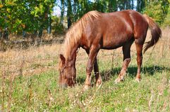 Beautiful brown horse grazing in the autumn meadow stock image