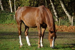 Beautiful brown horse grazing Royalty Free Stock Photo