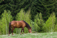 Beautiful brown horse grazing Royalty Free Stock Image