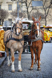 A beautiful brown horse in harness in the street in the city. Stock Images