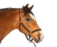 Beautiful brown horse, isolated Stock Image