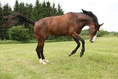 Beautiful brown horse jumping in freedom