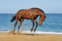 Beautiful brown horse jumping on sea beach. On a beautiful background Royalty Free Stock Photo