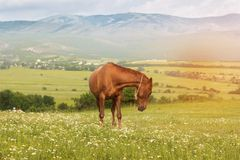 Beautiful brown horse in the mountains of Crimea Royalty Free Stock Photo
