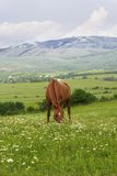 Beautiful brown horse in the mountains Royalty Free Stock Images