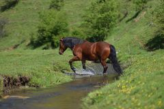 Beautiful brown horse passing mountain water stream and splashing water.  royalty free stock images