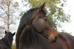 Beautiful brown horse portrait in autumn Stock Images