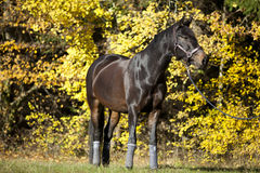 Beautiful brown horse portrait on meadow with yellow autumn leaves in background Stock Photography