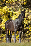 Beautiful brown horse portrait on meadow with yellow autumn leaves in background Royalty Free Stock Photos