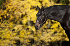 Beautiful brown horse portrait. On meadow with yellow autumn leaves in background Stock Photo